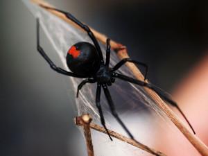 aranha-viúva-negra