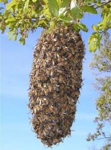 enxame-de-abelhas (1)