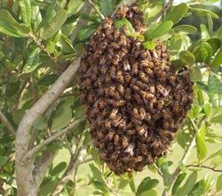 enxame-de-abelhas