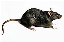 ratos_preto