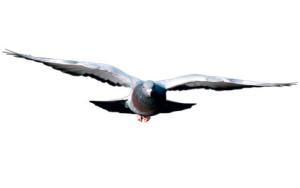 Pombo_voando_de_frente