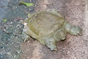 1 – Tartaruga-de-carapaça-mole-chinesa
