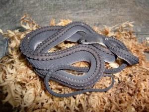 4 – Serpente-dragão