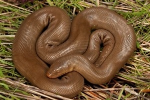 5 – Cobra-borracha