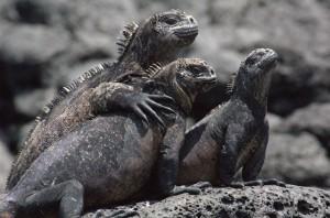 8 – Iguana marinha