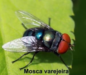 Chrysomya