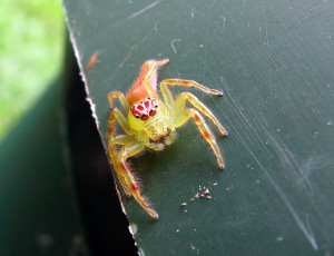 Green-jumping-spider