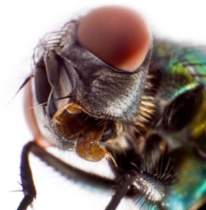 Olhos da mosca
