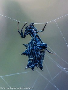 Spined-micrathena