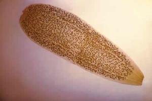 flea-6