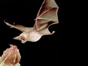 morcego01