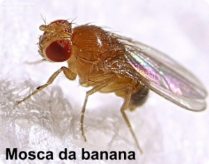 mosca da banana
