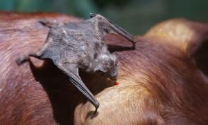 vampiro morcego